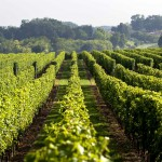 vineyards in charente maritime bordeaux
